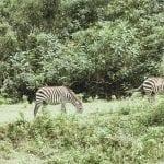 ugandazebra